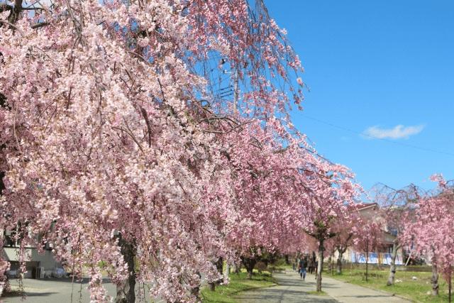 日中線記念自転車歩行者道の正しい読み方としだれ桜並木開花情報予測