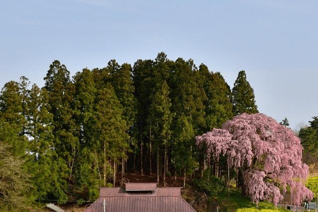 三春滝桜の見頃はライブカメラで確認可能!?東京からのアクセス方法
