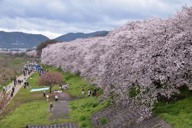 淀川河川公園背割堤地区の桜はお花見+BBQも可能?例年の開花状況